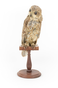 Barking Owl standing on a wooden mount facing forward.