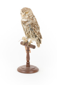 Ural Owl mounted on wooden perch pedestal with swing tag. The body faces front-left and the head is turned slightly leftward showing yellow left eye with black iris and yellow bill. The plumage is white, brown, grey and streaked.