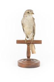 Grey Shrike-thrush standing on wooden mount facing forward