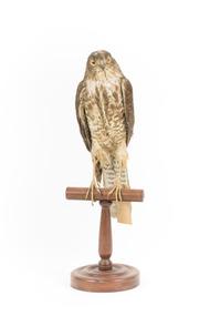 Nankeen Kestrel standing on wooden perch facing front