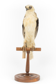 Black shouldered kite standing on wooden perch facing forward