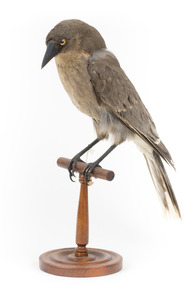 Grey Currawong/grey crow standing on wooden perch facing front left