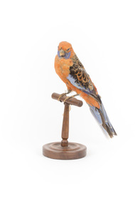 Platycercus Elegans / Crimson Rosella mounted on a wooden stand, front facing