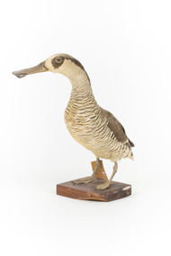 Animal specimen - Pink-Eared Duck, Trustees of the Australian Museum, 1860-1880