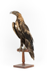 Aquila audax / wedgetail eagle standing on a wooden mount, facing forward