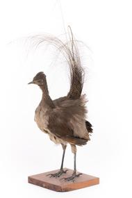 Female Superb Lyrebird standing on a wooden mount facing forward