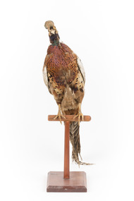 Male Common Pheasant standing on a mounted wooden perch, facing forward