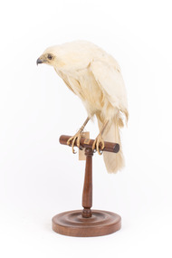 White Goshawk standing crouched on a wooden perch