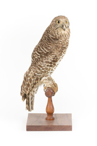 Powerful Owl standing on wooden mount facing forward