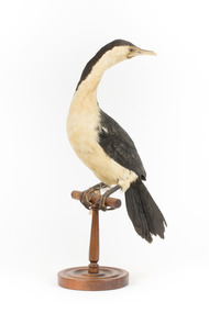 Little Pied Cormorant taxidermy specimen standing on a wooden mount facing towards the left