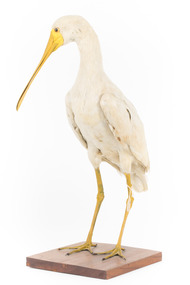 Yellow Billed Spoonbill standing on a wooden platform facing right
