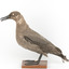 Sooty Albatross specimen standing on a wooden mount and facing forward.