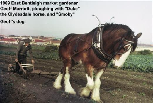 Photograph: Horse-drawn Plough at Work: 1969 Geoff Marriott ploughing in his Market Garden