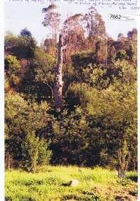 Photograph - Photograph (Copy), Anne Paul, Squizzy Taylor's target tree, taken from old road in front of Plenty Bridge Hotel, Lower Plenty 2003, 2003_05