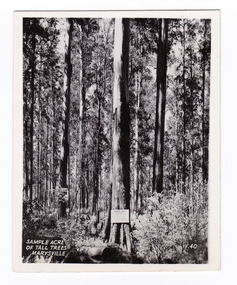 An early black and white photograph of a sample acre of tall trees near Marysville in Victoria. The title of the photograph is handwritten in white ink on the lower edge. This photograph was produced by the Valentine Publishing Co Pty. Ltd. as a souvenir of Marysville.