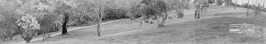Photograph, Significant Eucalyptus tree, Diamond Creek Trail, Alistair Knox Park, Eltham, c.1985