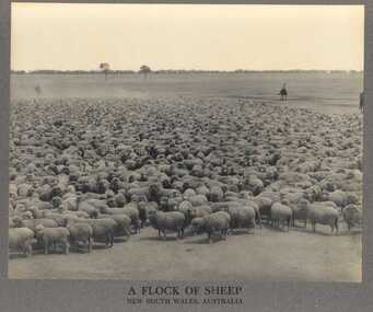 Photograph, A Flock of Sheep, New South Wales, Australia