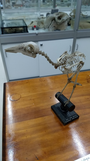 Grey Currawong mounted skeleton on table